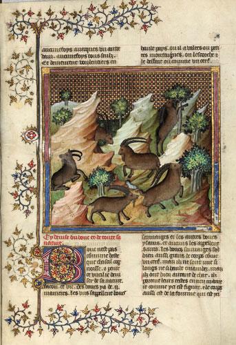 Extrait du livre de la chasse de Gaston Phoebus traitant du Bouquetin des Pyrénées