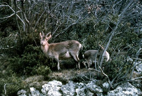 Une des dernières femelles de Bouquetin des Pyrénées et son cabri photographiés à Ordessa