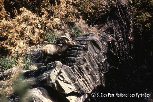Photo du dernier bouquetin aperçu avant la disparition de l'espèce en 2000