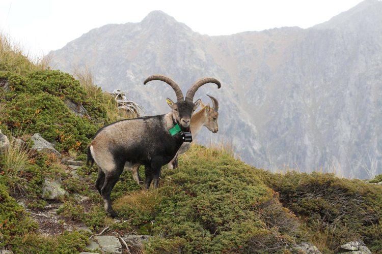 Techniques de suivi et d'observation des bouquetins dans les Hautes-Pyrénées